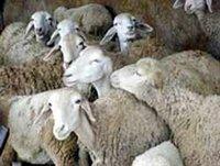 Alg rie salon du mouton bouira le roi des ruminants - Salon de chat algerie ...
